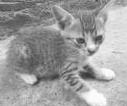 kucing kampng