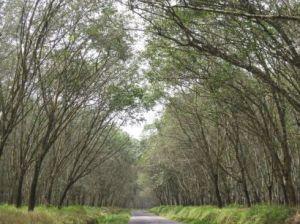 hutan karet
