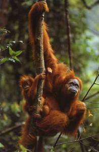 Orangutan-196x300