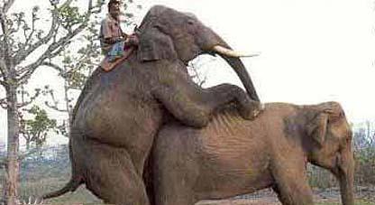 gajah kawin